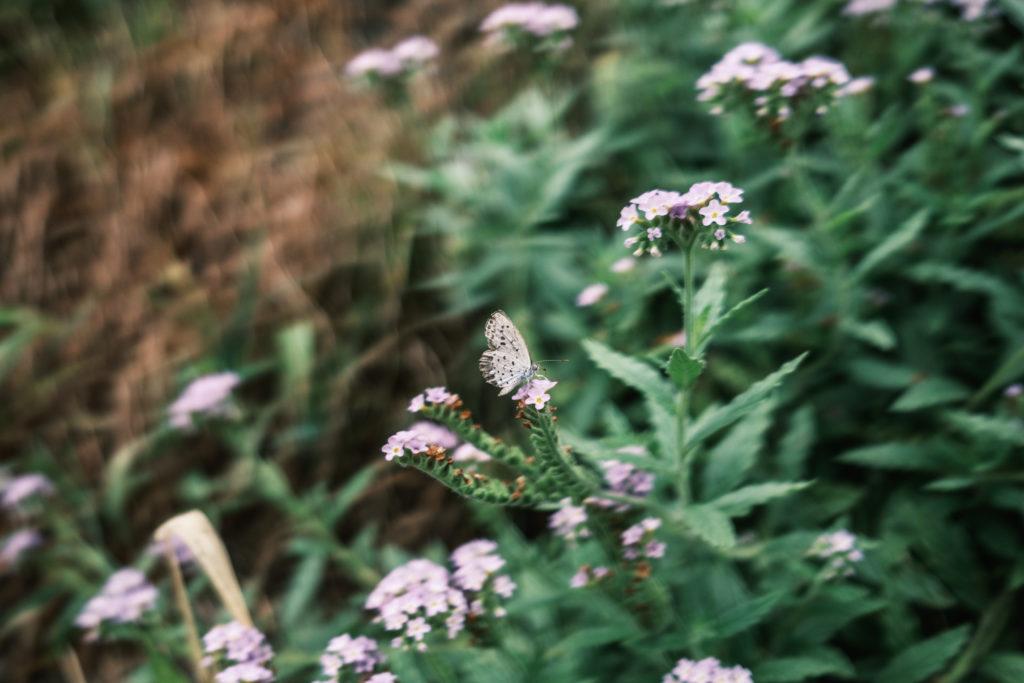 野草の花に止まった蝶