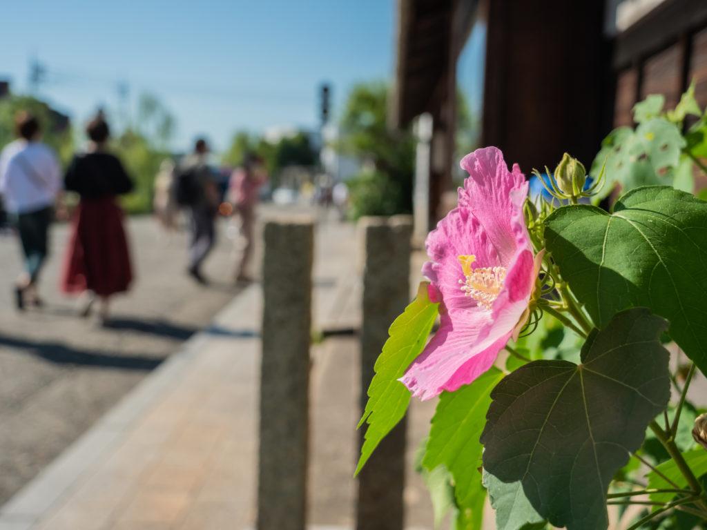軒先に咲いたムクゲ